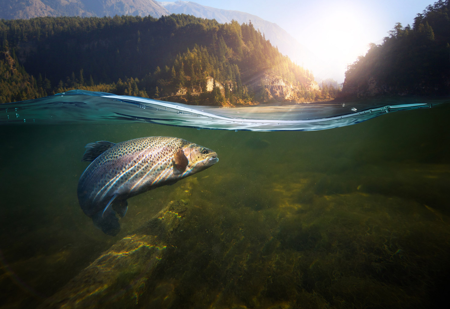 Trout swimming in water